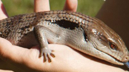 brown lizard in hand