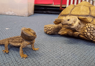 bearded dragon with a tortoise