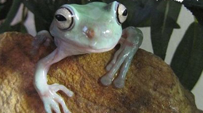pale green frog