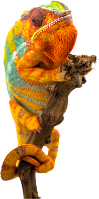 orange and blue chameleon